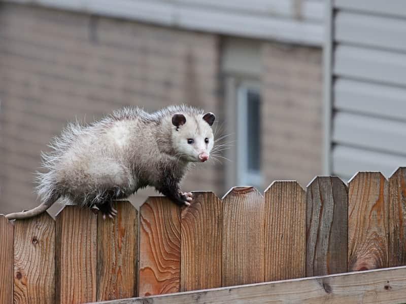 Opossum Removal Service