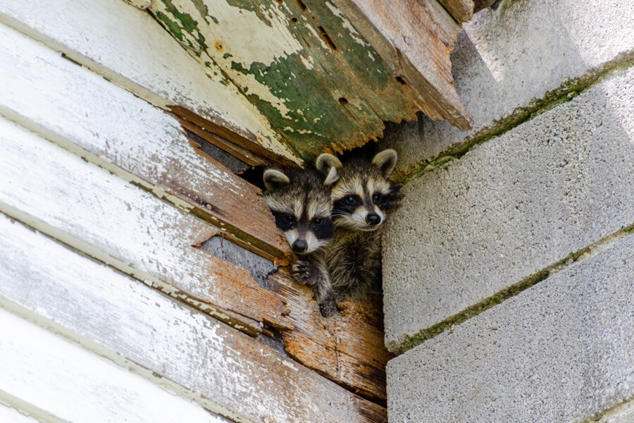 Help Raccoons Have Invaded